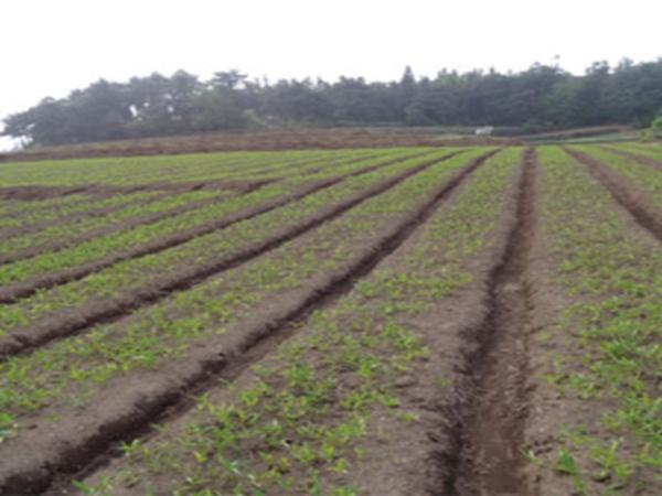 蛇床子种植基地