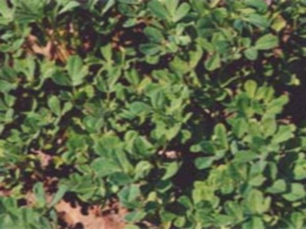 葫芦巴种植基地