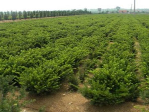 红豆杉种植基地