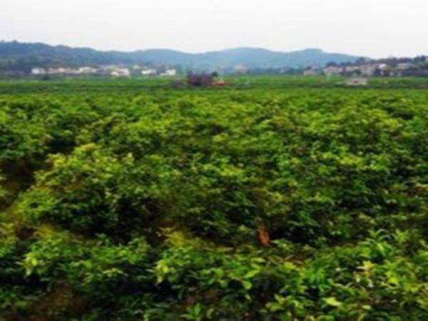 柠檬种植基地