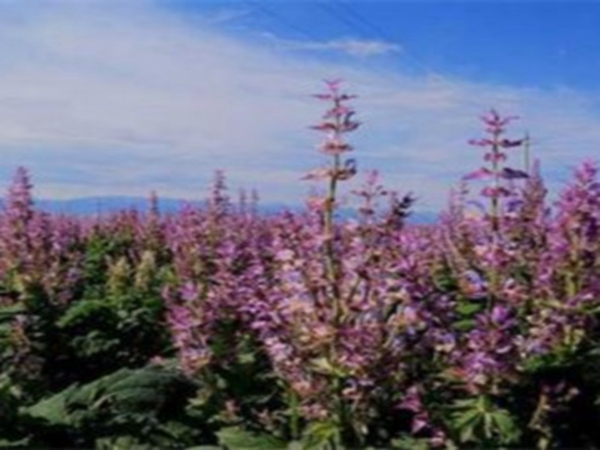 紫苏种植基地