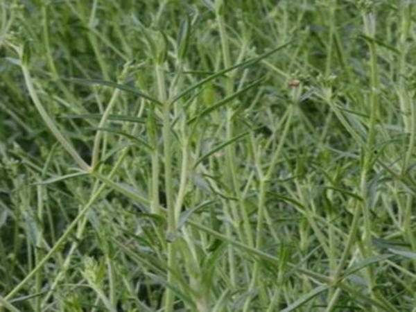 银柴胡种植基地