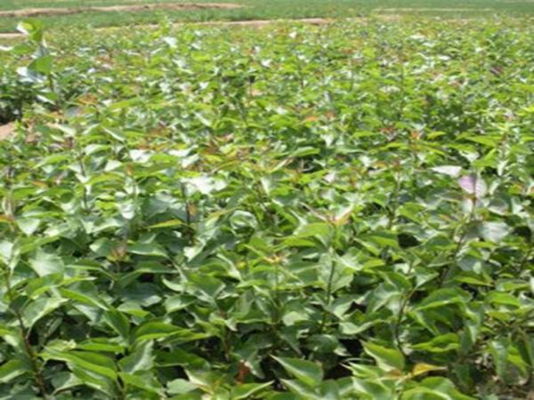 丁香种植基地