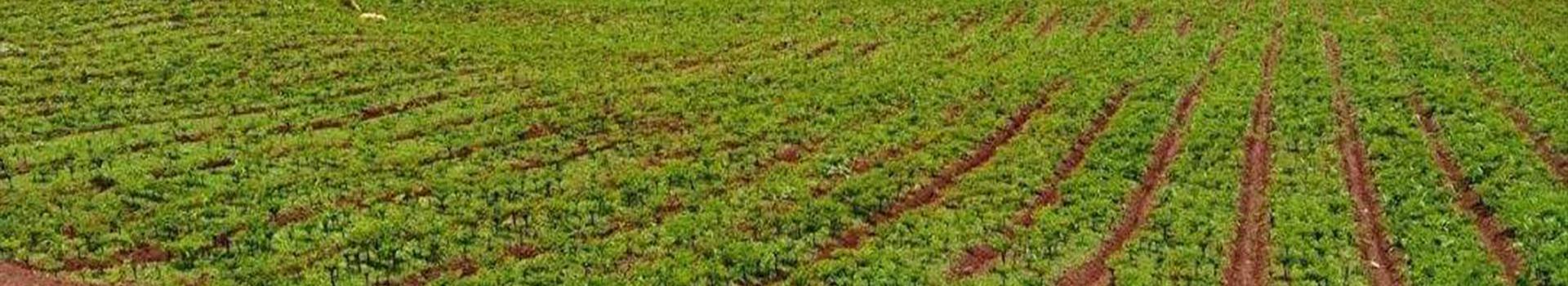 绵阳北川黄精种苗播种和管理教