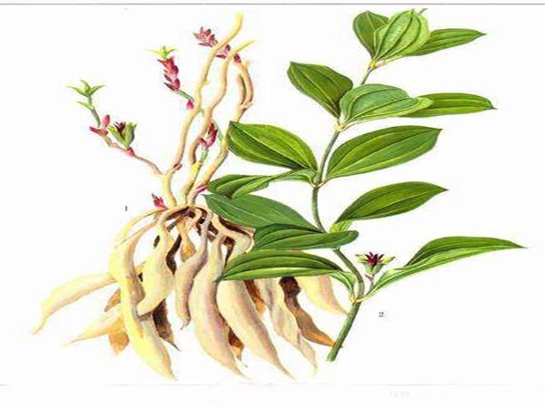 綿陽北川你知道如何種植黃精嗎?