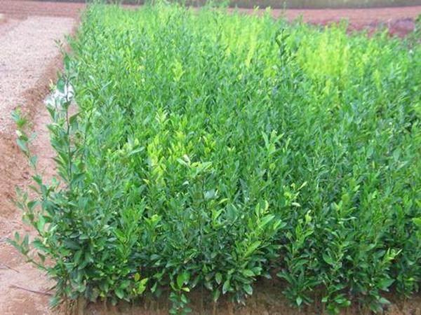 种植枳壳苗需要注意的事项