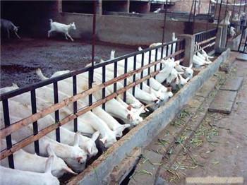 山东客户购买陕西富平奶山羊羊羔200只