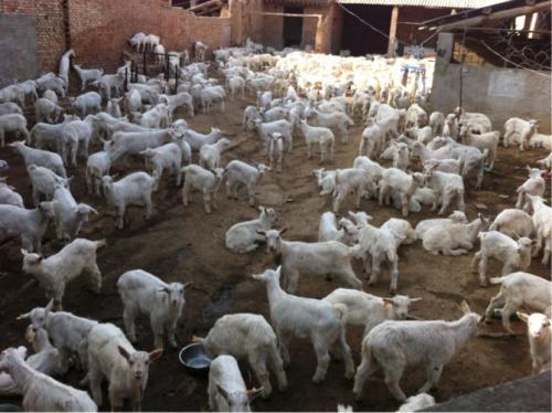 陕西奶山羊羔