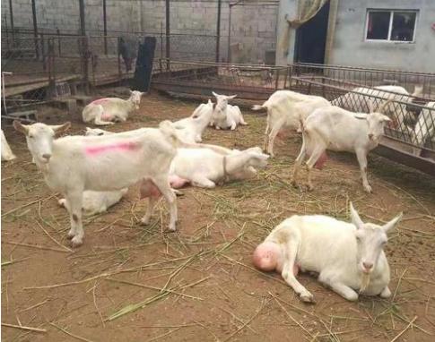 奶山羊养殖
