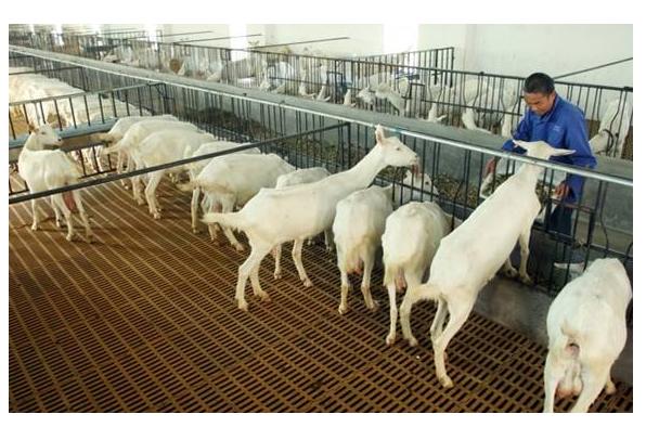 奶山羊品种