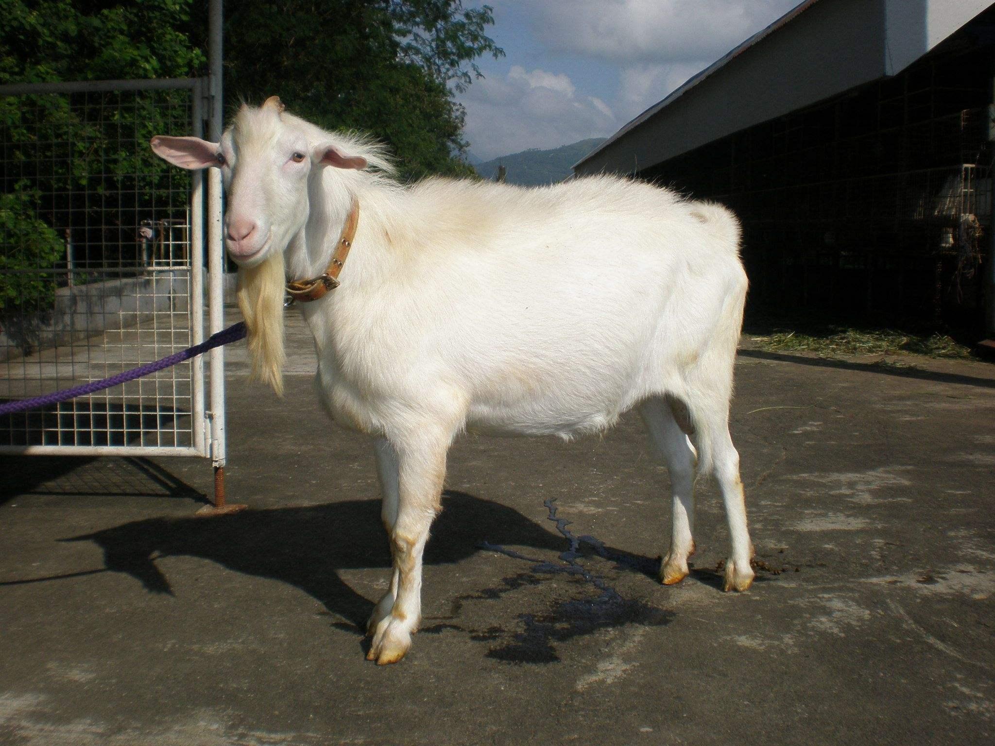 奶山羊的覓食力強,能食百樣草