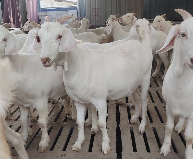 奶山羊种羊