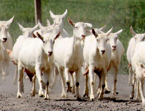 陕西奶山羊