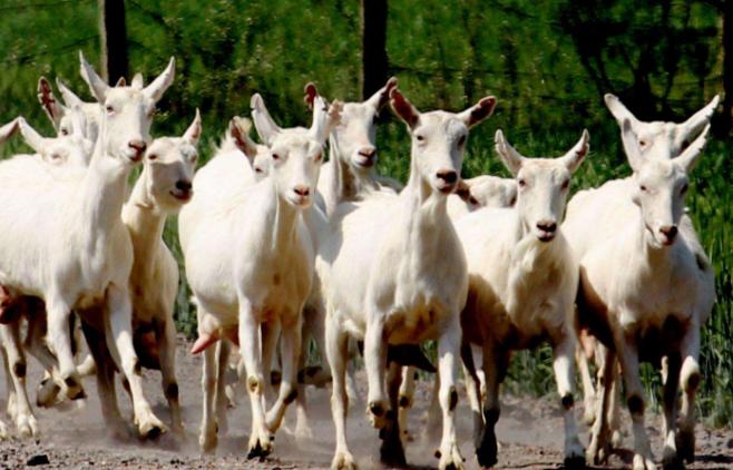 西安奶山羊