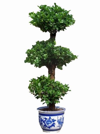 盆栽吉祥树图片大全