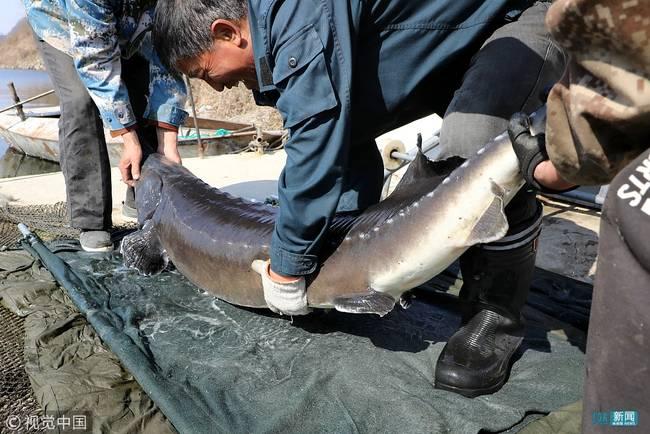 大连市水性pu革研发专家团队讯68条鲟鳇鱼600万让人羡慕