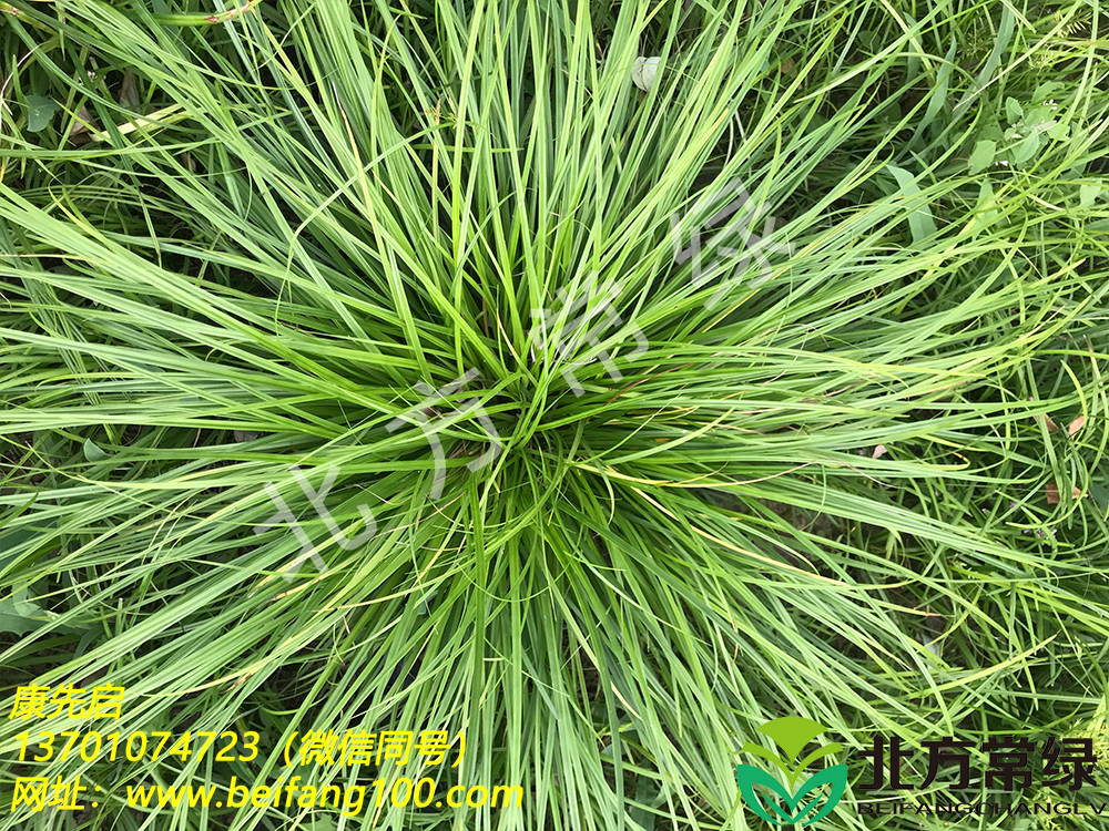 北京披针叶苔草需要何种生长环境?
