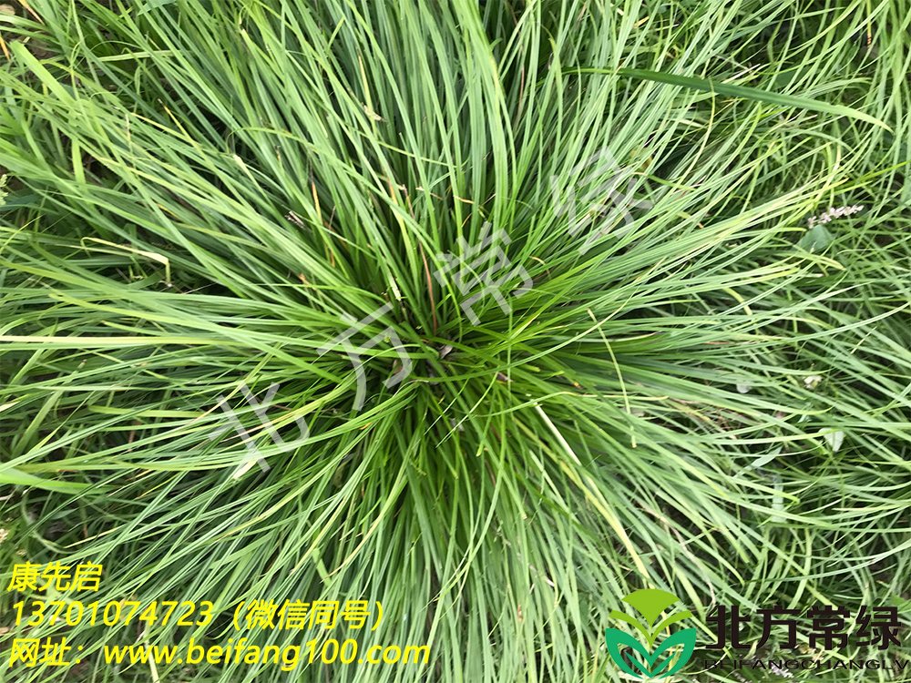 披针叶苔草供应及其分布范围