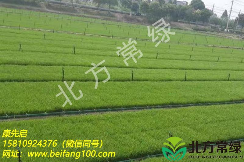 北京披针叶苔草供应优选北方常绿公司