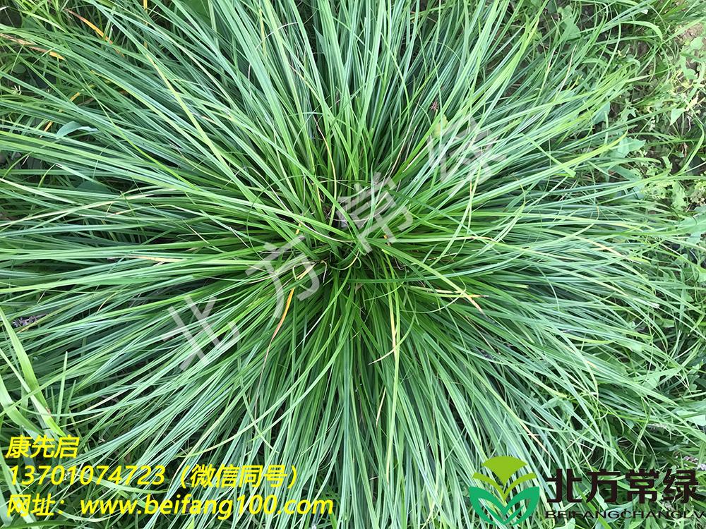 披针叶苔草形态特征介绍