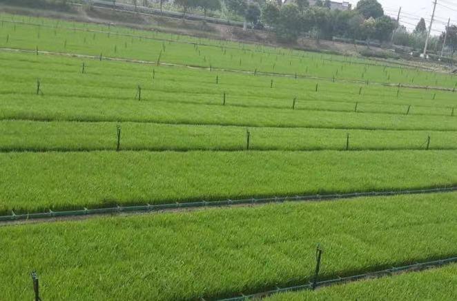 优质披针叶苔草批发推荐北方常绿草坪