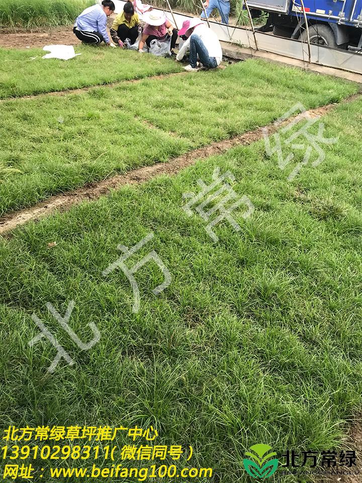 披针叶苔草价格/报价是多少?