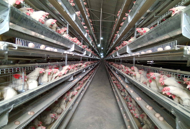 肉鸡养殖大棚