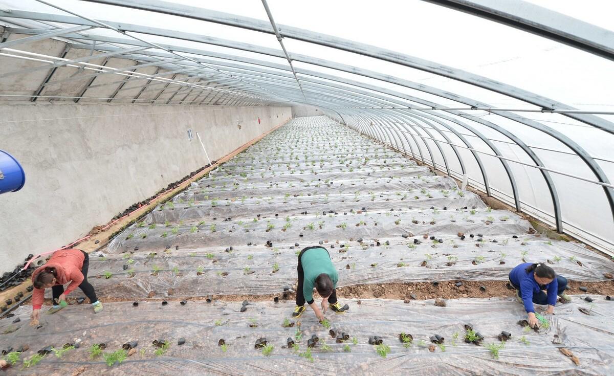 青海日光温室的应用以及大棚的尺寸是怎样的