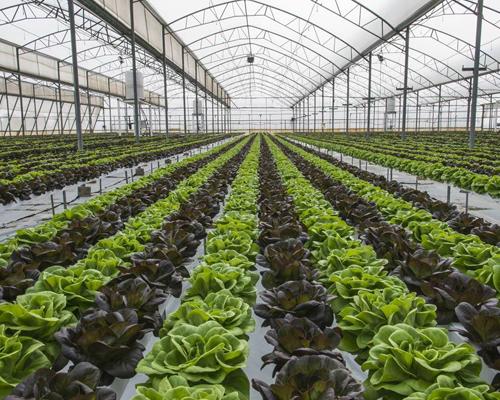 蔬菜溫室大棚滴灌管線必須處于地表
