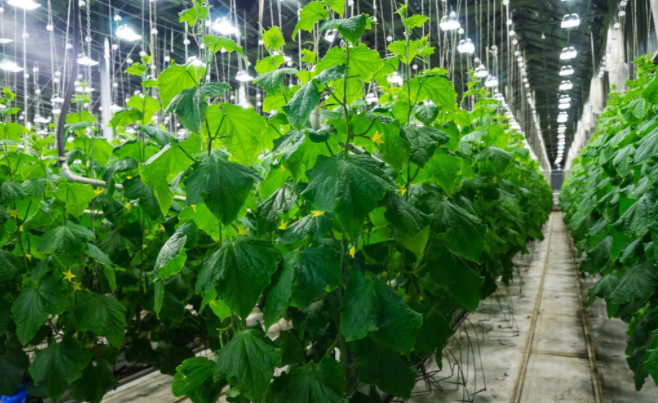 温室大棚种植黄瓜要特别注意这三点