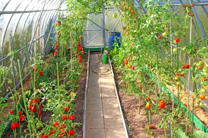 西红柿温室大棚