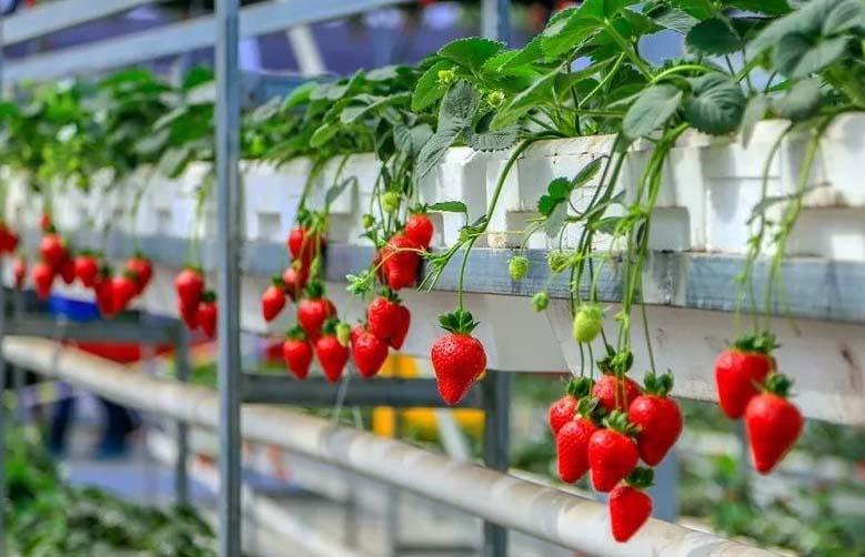 青海温室建造公司分享大棚草莓的种植方法和技术