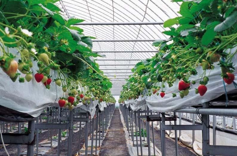 青海草莓温室大棚厂家