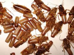 重庆灭蟑螂公司