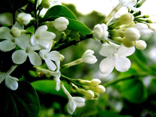 西安别墅园林设计里丁香的繁殖方法