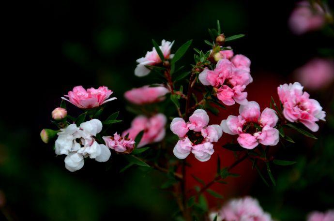 别墅花园设计里松红梅怎样扦插