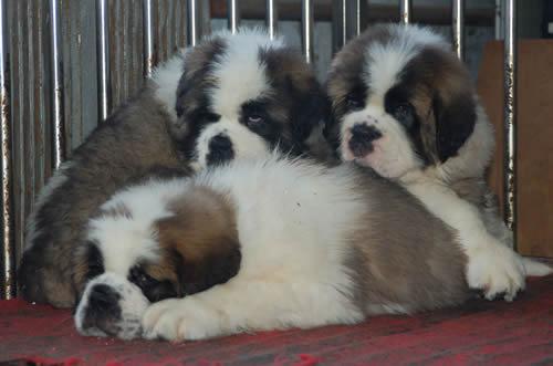 养肉狗什么品种好这是很多肉狗养殖厂场主最关心的话题