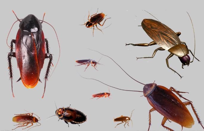 神烦人的蟑螂都有哪些习性呢?