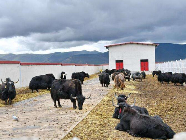 西藏养殖场使用无害化设备生产的骨粉售价高