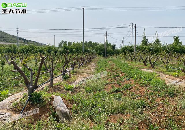 圣大节水果树灌溉方式之PE管加滴头