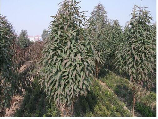 山东泰安森源苗木基地供应的龙柱碧桃树种培育方法