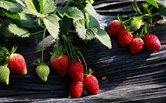 草莓苗批发基地对草莓苗重茬的弊端进行分析