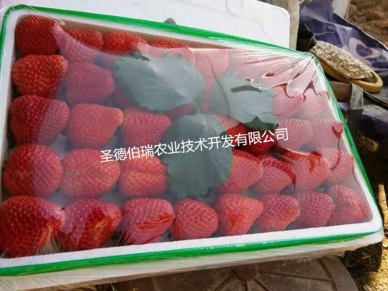 草莓繁育基地分析盆栽草莓种植