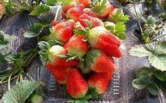 脱毒草莓苗繁育基地介绍移栽草莓苗几天浇水?