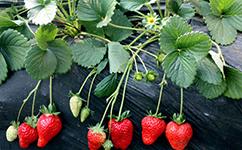 四季草莓苗繁育基地介绍草莓健康种苗繁育技术注意事项