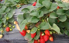四季草莓苗 | 章姬草莓栽培要点~
