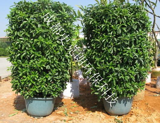 成都温江植物租赁公司关于常见室内植物介绍2