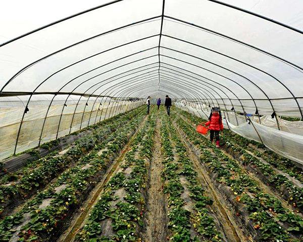草莓大棚建造