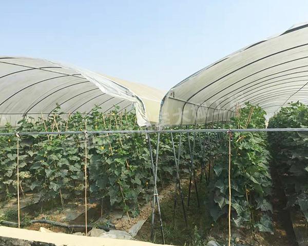 连栋薄膜蔬菜温室大棚