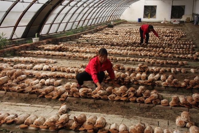 「菌类大棚」冬季菌菇大棚应该如何管理?